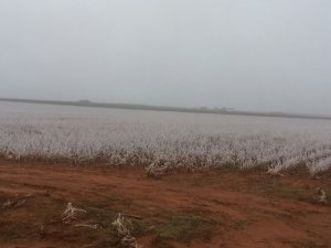 A Field in South Texas